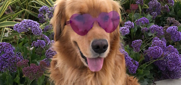 Brixton the Dog, social media ambassador for Walk to End Alzheimer's